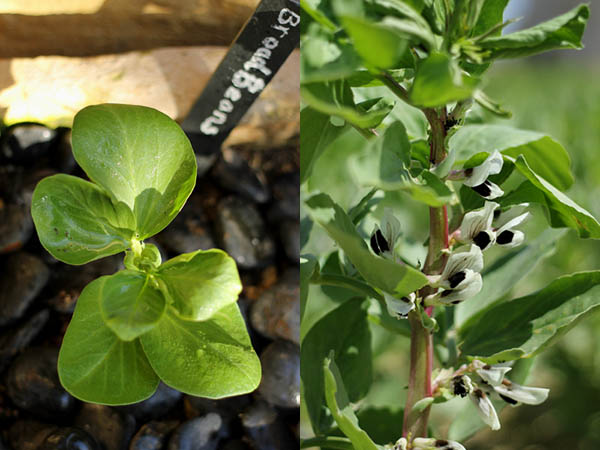 Broad bean from seedling to plant