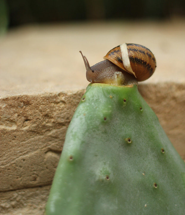 Maltese edible snail (bebbuxu) on prickly pear